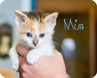 Domestic Shorthair Kitten for adoption in Somerset, Pennsylvania - Mia