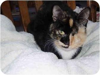 Domestic Shorthair Cat for adoption in Hamburg, New York - Jewels
