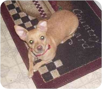 Chihuahua Puppy for adoption in Evansville, Indiana - Milly