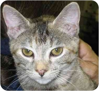Domestic Shorthair Cat for adoption in Alden, Iowa - Roxy