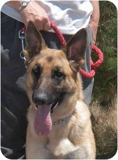 German Shepherd Dog Dog for adoption in Las Vegas, Nevada - Regan