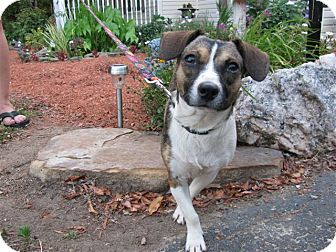 Feist/Beagle Mix Dog for adoption in Bedminster, New Jersey - Peanut