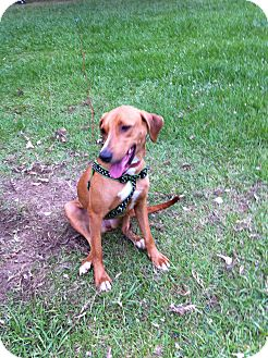Hound (Unknown Type) Mix Dog for adoption in Baton Rouge, Louisiana - Amy