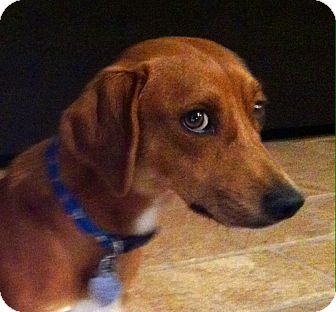 Beagle Mix Dog for adoption in Corona, California - SID