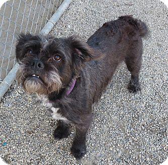 Schnauzer (Miniature) Mix Dog for adoption in Marseilles, Illinois - Nolan