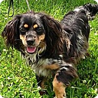 Adopt A Pet :: GRACIE--LOVING!LAP DOG! - Bluff city, TN