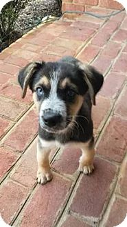 Shepherd (Unknown Type) Mix Puppy for adoption in Manassas, Virginia - Louie