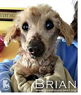 Poodle (Miniature) Mix Dog for adoption in Essex Junction, Vermont - Brian