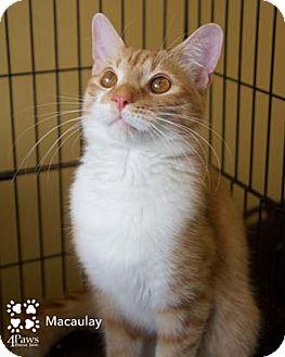 Domestic Shorthair Kitten for adoption in Merrifield, Virginia - Macaulay