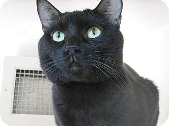 Domestic Shorthair Cat for adoption in Cumming, Georgia - Ortan