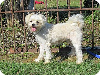 Maltese/Poodle (Miniature) Mix Dog for adoption in Newburgh, New York - BELLA