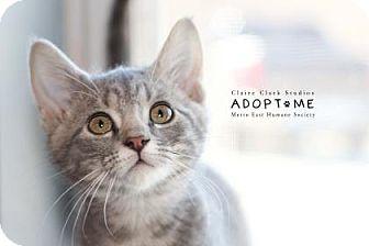Domestic Shorthair Kitten for adoption in Edwardsville, Illinois - Michelin