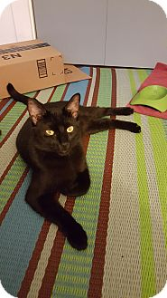 Siamese Cat for adoption in Los Angeles, California - Whiskey (bonded to Tango)