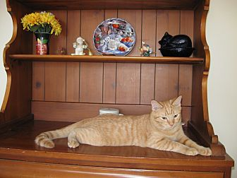Domestic Mediumhair Cat for adoption in Orland Park, Illinois - Harry