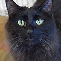 Domestic Longhair Cat for adoption in Denver, Colorado - MacCavity
