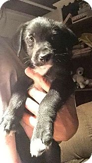 Labrador Retriever/Jack Russell Terrier Mix Puppy for adoption in Walker, Louisiana - Fred