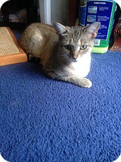 Domestic Shorthair Cat for adoption in Cincinnati, Ohio - Dove