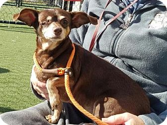 Chihuahua Mix Dog for adoption in Chesapeake, Virginia - Mollie