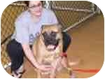 Bullmastiff Dog for adoption in North Port, Florida - DUCHESS