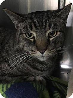 Domestic Shorthair Cat for adoption in Voorhees, New Jersey - Shepherd