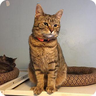 Domestic Shorthair Cat for adoption in Algonquin, Illinois - Cinnabun