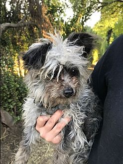 Yorkie, Yorkshire Terrier Mix Dog for adoption in North Hollywood, California - Gunther