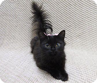 Domestic Mediumhair Cat for adoption in Lexington, North Carolina - CHILLI