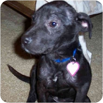 Retriever (Unknown Type)/American Pit Bull Terrier Mix Dog for adoption in Berkeley, California - Nelly