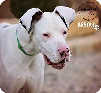 Great Dane Dog for adoption in Lubbock, Texas - Arrow