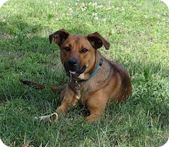 Black Mouth Cur/Shepherd (Unknown Type) Mix Dog for adoption in Homewood, Alabama - Carter
