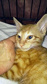 Domestic Shorthair Kitten for adoption in Dallas, Texas - Cecil