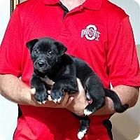 Adopt A Pet :: Gunner - Gahanna, OH