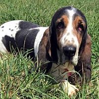 Adopt A Pet :: LUCY - Pennsville, NJ