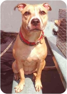 American Staffordshire Terrier/Boxer Mix Dog for adoption in New York, New York - Princess