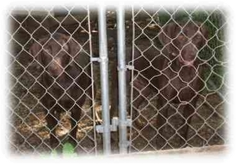 Weimaraner/Labrador Retriever Mix Dog for adoption in Blackstone, Virginia - 2 Weimaraner/Labs