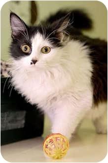 Domestic Longhair Cat for adoption in Murphysboro, Illinois - Myra