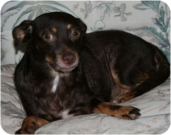 Chihuahua/Dachshund Mix Dog for adoption in Hagerstown, Maryland - Joy
