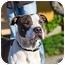 Photo 2 - American Pit Bull Terrier Dog for adoption in Berkeley, California - Khan **URGENT**