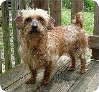 Yorkie, Yorkshire Terrier/Maltese Mix Dog for adoption in Brattleboro, Vermont - Molly
