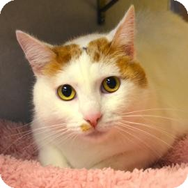 Domestic Shorthair Cat for adoption in Austin, Texas - Bella