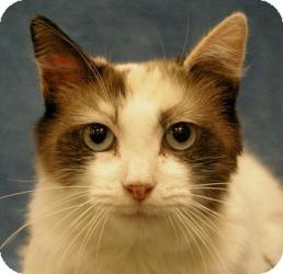 Calico Cat for adoption in Sacramento, California - Elizabeth