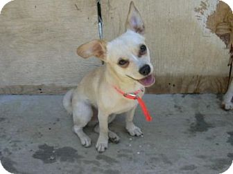 Chihuahua/Terrier (Unknown Type, Medium) Mix Dog for adoption in Hammonton, New Jersey - Mickey
