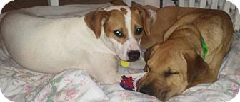 Beagle/Hound (Unknown Type) Mix Dog for adoption in Bardonia, New York - Meadow