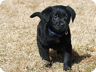 Golden Retriever/Labrador Retriever Mix Puppy for adoption in Denver, Colorado - Alvin