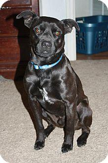 Boston Terrier/Rat Terrier Mix Dog for adoption in Waterbury, Connecticut - Perthius