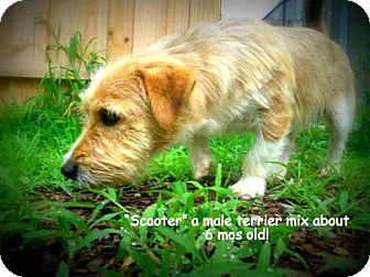Terrier (Unknown Type, Medium) Mix Puppy for adoption in Gadsden, Alabama - Scooter