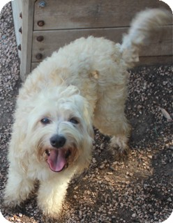 Cockapoo Mix Dog for adoption in Norwalk, Connecticut - Henley - adoption pending