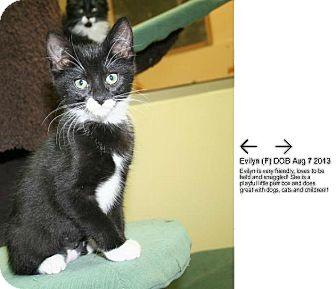 Domestic Shorthair Kitten for adoption in Edmonton, Alberta - Evilyn