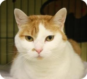 Domestic Shorthair Cat for adoption in West Des Moines, Iowa - Pumpkin