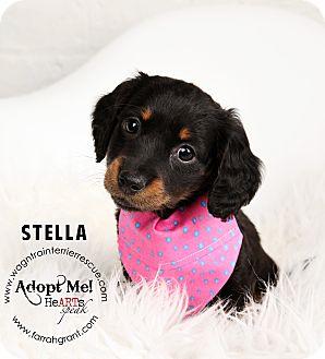 Dachshund Puppy for adoption in Omaha, Nebraska - Stella